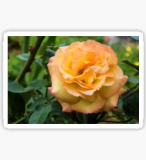 Early Summer Blooms Impressions - Elegant Peach Rose Sticker