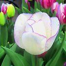 A Delicate Tulip by Patricia127