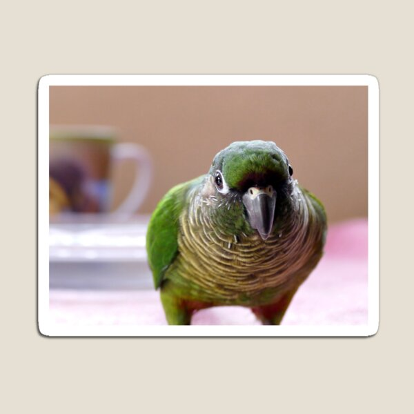Mischievious Echo - Maroon-Bellied Conure Magnet