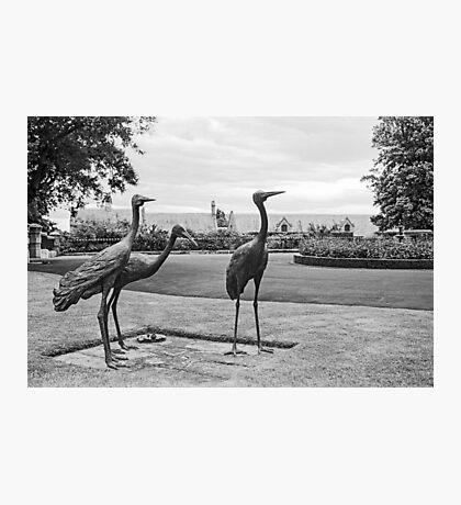 Brolgas—Government House Tasmania Photographic Print