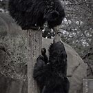 Black Bear's Kiss by Adam Northam