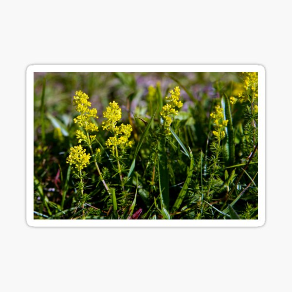 Galium Verum (Lady's Bedstraw), Inishmore, Aran Islands Sticker