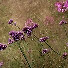 Argentine Verbena in Late Summer by karina5
