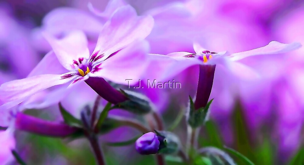 Beautiful Pink Spring Phlox by T.J. Martin