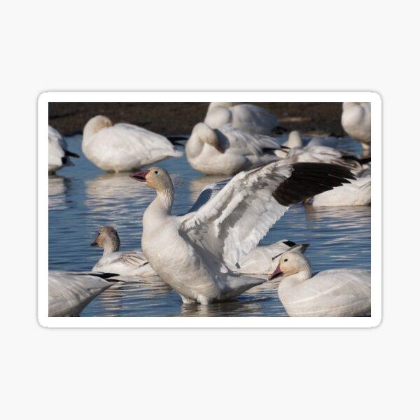 Snow Goose Celebration  Sticker