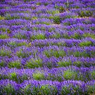 Lines of Lavender by lallymac