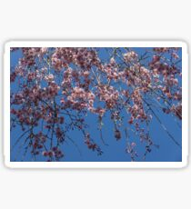 Pretty in Pink - a Flowering Cherry Tree and Blue Spring Sky Sticker