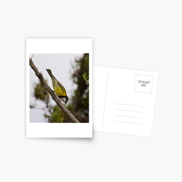 WHISTLER ~ Golden Whistler F6CSE5C7 by David Irwin Postcard