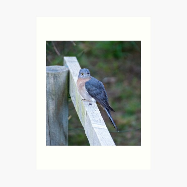 CUCKOO ~ Fan-tailed Cuckoo by David Irwin Art Print