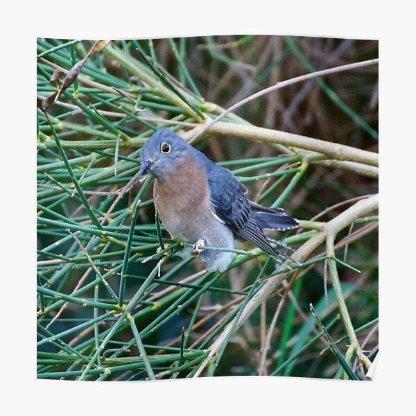 CUCKOO ~ Fan-tailed Cuckoo by David Irwin Poster