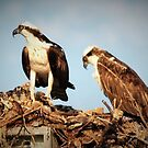 Osprey family by ♥⊱ B. Randi Bailey