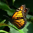 Monarch Butterfly by margotk