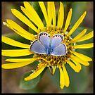 Small blue butterfly by Lynn Starner