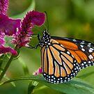 Wanderer Butterfly, Northern Territory, Australia by Erik Schlogl