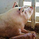 Pig Enjoying the Sun by Susan Savad