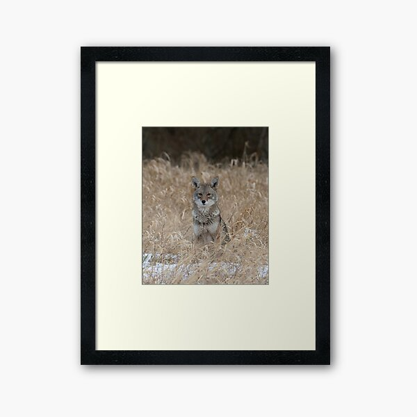 The Little One coyote Guemes Island Framed Art Print