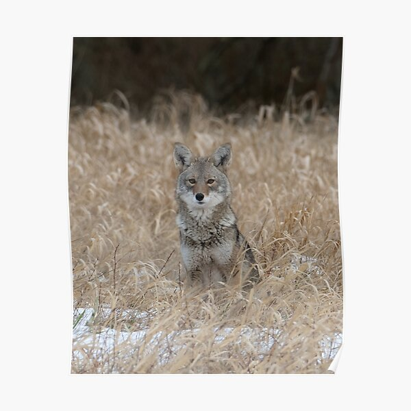 The Little One coyote Guemes Island Poster