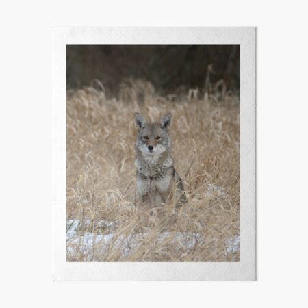 The Little One coyote Guemes Island Art Board Print