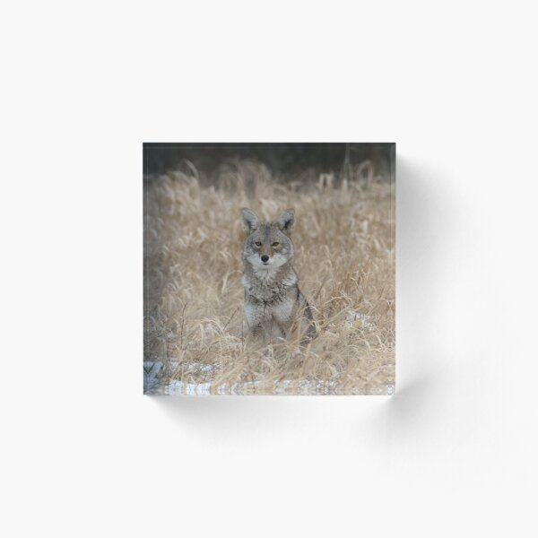 The Little One coyote Guemes Island Acrylic Block