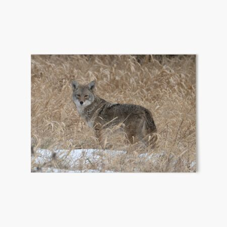 The Little One Coyote Guemes Art Board Print