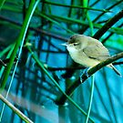 Clamorous Reed Warbler by nadine henley