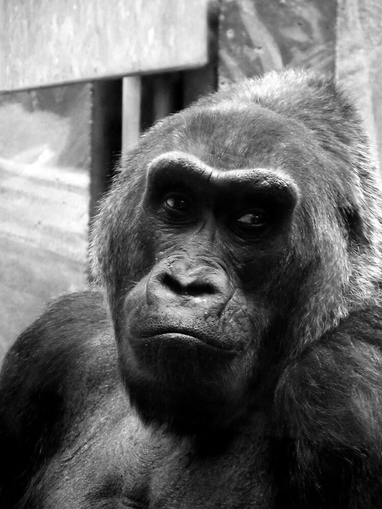 Columbus, OH: Contemplative Gorilla by ACImaging