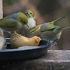 Silver Eye's.......Hey,  I was here first.......! by Roy  Massicks