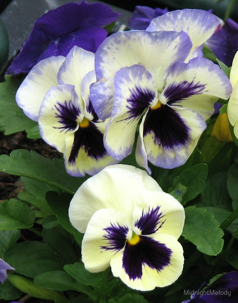 Solomn Pansies by MidnightMelody