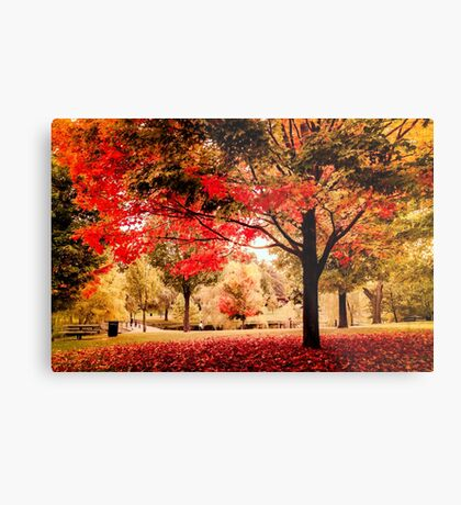 Red Maple in Larz Anderson park. Metal Print