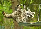 Raccoon Antics by MotherNature