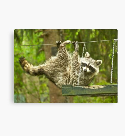 Raccoon Antics Canvas Print