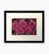 Like Suns, Like Stars or Just Exotic Mums Framed Print