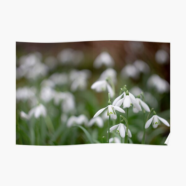 Carpet of snowdrops Poster