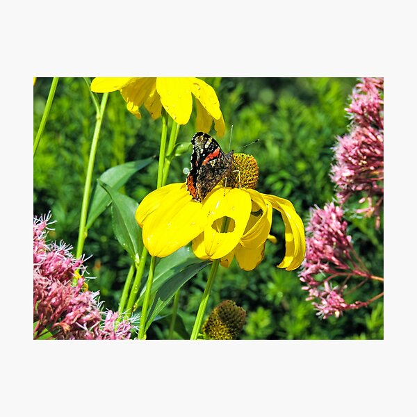 Red Admiral Butterfly on a yellow flower  Photographic Print