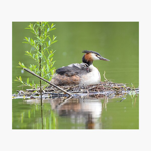 Great Crested Grebe Lovers Gift Photographic Print
