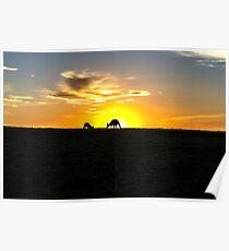 Silhouette of Kangaroos at  Sunset Poster