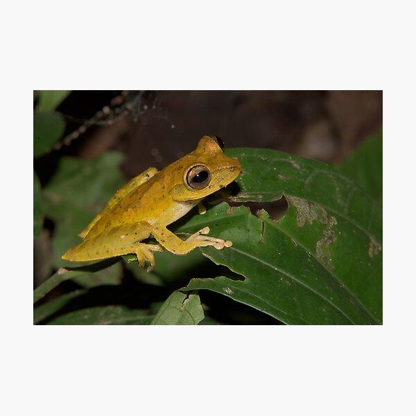 Convict Tree Frog, Parque Nacional del Manu, Peru Photographic Print