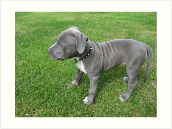 Herrliches Baby, blauer Pit Bull Puppy Dog mit Falten von Christy Carlson