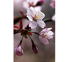 cherry blossoms by debbie oppermann redbubble. Black Bedroom Furniture Sets. Home Design Ideas