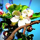 Apple Blossom by ©The Creative  Minds