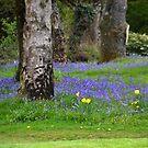 Bluebells at Lyme Regis Golf Club. Dorset UK by lynn carter