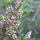 Pink Boronia by lorelle
