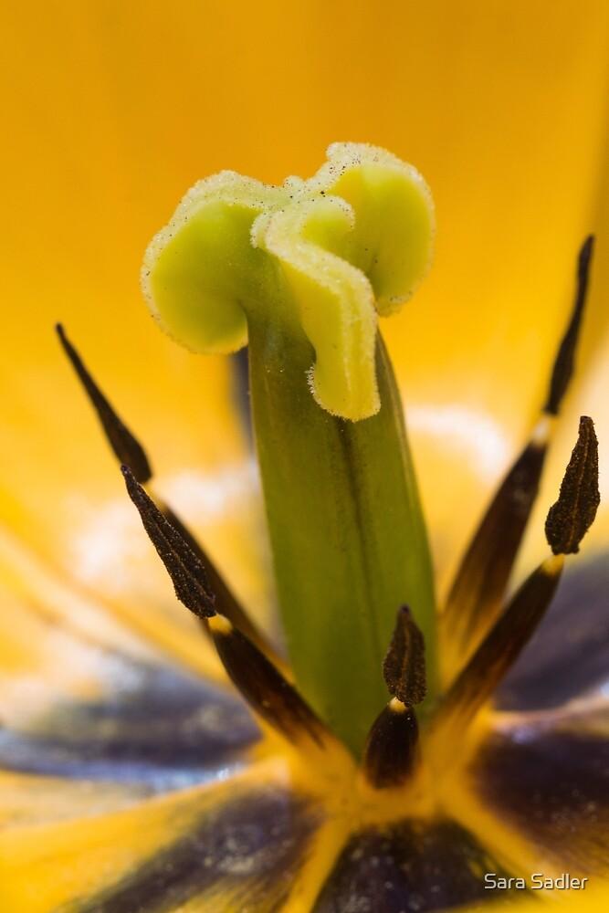 Close up of a yellow tulip flower by Sara Sadler