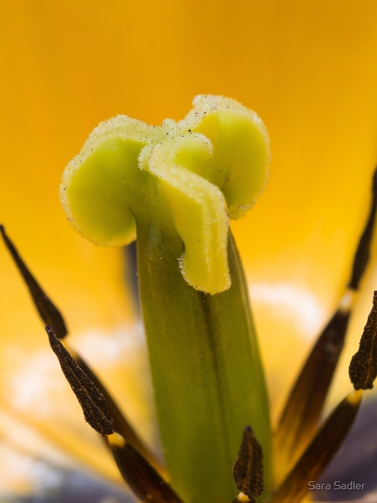 Close up of a yellow tulip flower by sadler2121