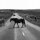 Horse crossing a road in Swansea`s Gower, protected area in Wales by Remo Kurka