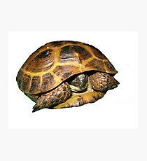 Greek Tortoises in Shell Photographic Print