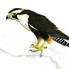 Aplomado Falcon by Ray Cassel