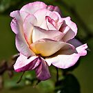 Pink Rose by PhotosByHealy
