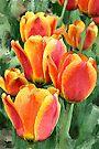 Orange tulips watercolour by PhotosByHealy