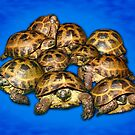 Group of Greek Tortoises - Blue Background by LuckyTortoise